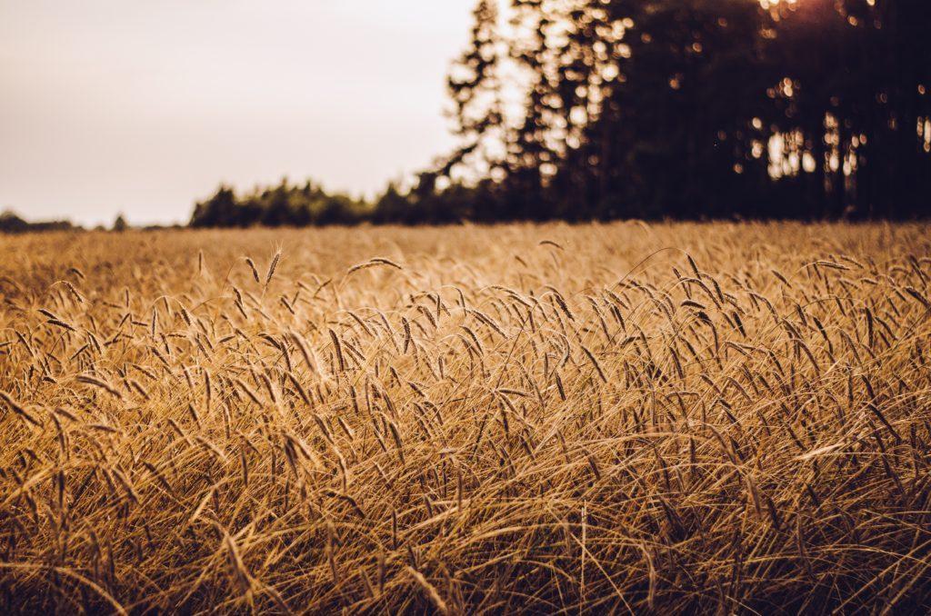 поле пшеницы, мудрая притча, вызов